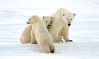 Polar Bears in Churchill - Churchill Town and Tundra Experience