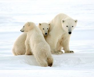Polar Bears in Churchill - Churchill Town and Tundra Experience