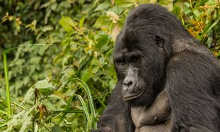 The Ultimate Uganda and Rwanda Gorilla Safari