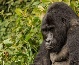 The Ultimate Uganda and Rwanda Gorilla Safari