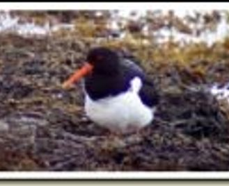 Orkney and Speyside - bird watching and wildlife watching in Scotland