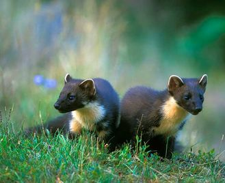 Dusk Watches in our mammal hide on Speyside in the Highlands of Scotland offering a wildlife watching experience with the chance to see Pine Marten, Badger, Red and Roe Deer and more