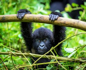 Gorillas, Chimps & Monkeys