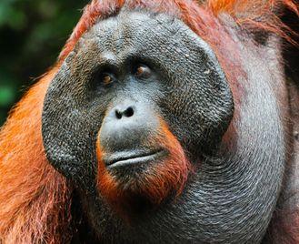 Kalimantan untouched: orangutans & village life