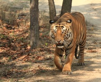 In search of Tigers
