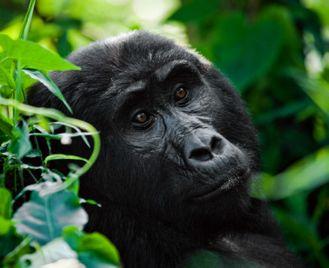 Gorillas & Lions