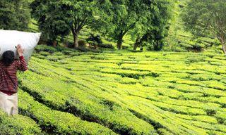 India's Hill Stations & Tea Plantations
