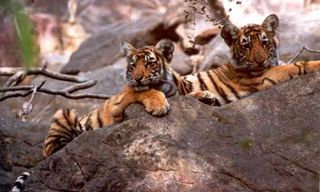 India tiger safari with 9 game drives at Ranthambhore