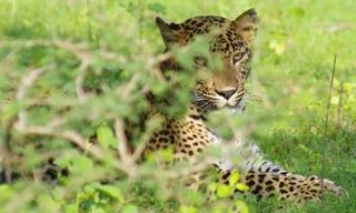 Sri Lankan leopard safari at Yala 8 days