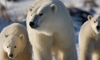 Great Ice Bear Tour In Churchill - 6 Nights