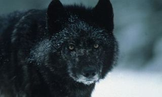 Wolves in Winter at Prince Albert National Park - 5 Nights