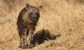 Journeys with Purpose - Brown Hyenas and Desert Elephants