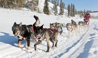 Dog sledding in the Yukon - following the Yukon Quest