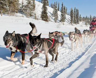 Dog sledding in the Yukon - following the Yukon Quest