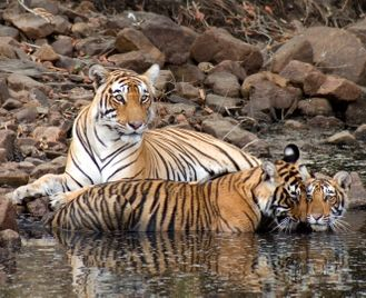 India's Golden Triangle & Tigers