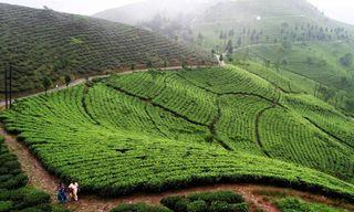 Tea & Buddhism in West Bengal & Sikkim