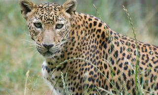 On the Leopard's Trail in Sri Lanka