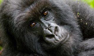 Rwanda's gorillas & Kenya's Big Five
