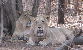 Lions, Asses & Blackbuck: Wildlife in Gujarat