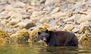 Bears of British Columbia