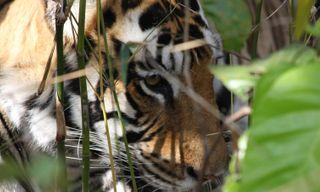 On the Tiger's Trail in India's central parks