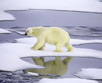 The Great Polar Bear Gathering