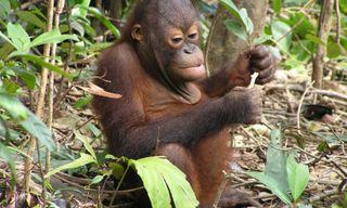 Orangutans & islands of Borneo