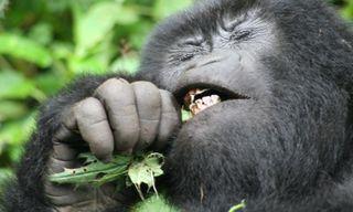 Ultimate primate experience: gorillas, chimps & monkeys
