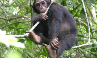 Chimpanzees of Western Tanzania