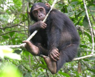 Chimpanzees of Western Tanzania