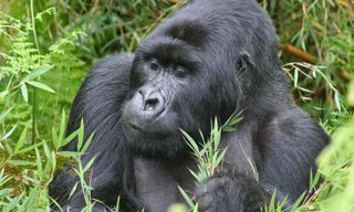 Gorillas, the Great Migration & the Big Five