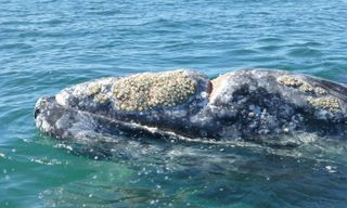 Cradle of the Grey Whale: Baja California Uncovered