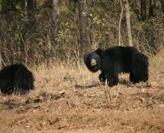Tigers & sloth bears: unusual wildlife experiences in central India