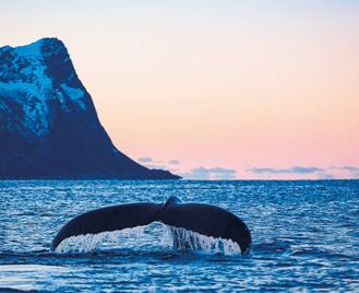 Whale Watching In The Midnight Sun