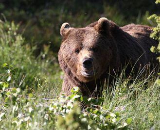 Bear Watching In Finnish Lapland