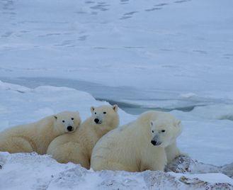 Polar Bears Churchill & Tundra Experience