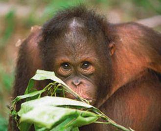 Sipadan & Orangutans