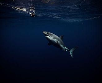 Isla Guadalupe: Great White Shark Heaven