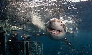The Great White Dive Adventure