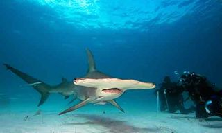 Great Hammerhead Encounters