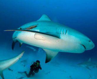 Bull Shark Adventure