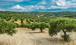 Crete: The Olive Harvest And Homestay