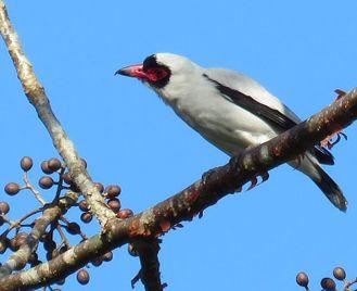Panama: Birdwatching Tour