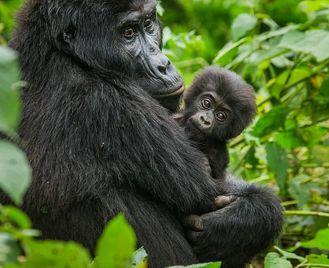 Kenya: Savannah And Gorillas
