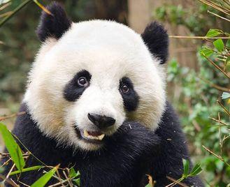 China: Chengdu Pandas And Sichuan Cuisine
