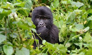 Gorillas & Masai Mara - Camping Reverse