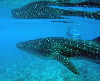 Marine Wildlife Of The Maldives