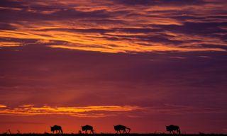 Gorillas & Masai Mara - Accommodated