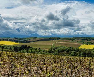 Walking In Chablis Vineyards