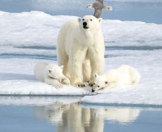 Realm Of The Polar Bear - M/S Spitsbergen